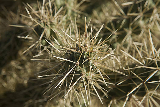 Close Up Teddybear Cholla by Joel Moranton