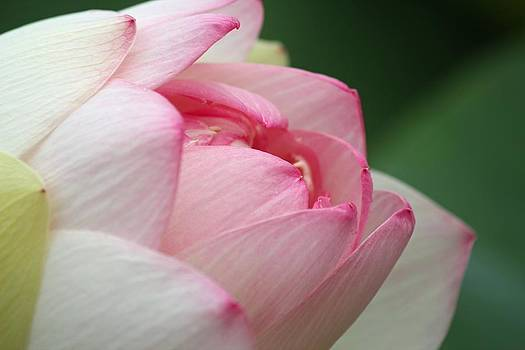 Closeup Lotus by Carol Oberg Riley