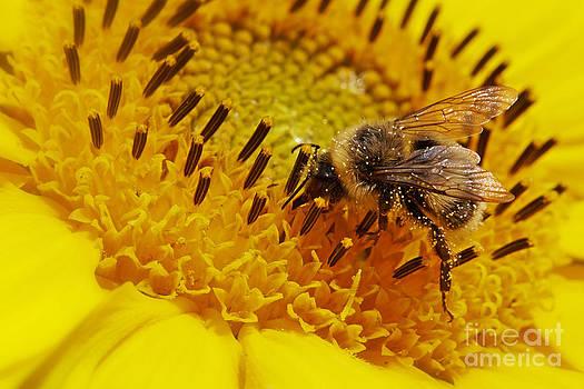 Nick  Biemans - Closeup of a bee on a sunflower