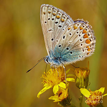 Nick  Biemans - Closeup of a Common Blue butterfly