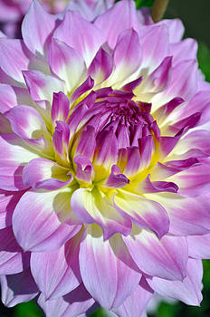 Closeup Who Dun It Dahlia Flower by Thomas J Rhodes