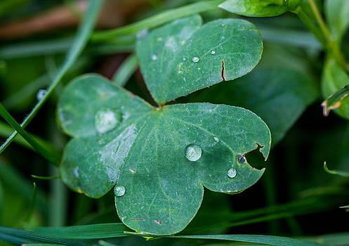 Clover Rain by Laurel Butkins