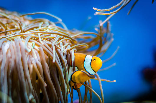 Clown Fish and Anemone by Anthony Morganti