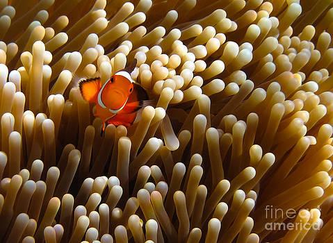 Clownfish hiding in Coral garden by Fototrav Print