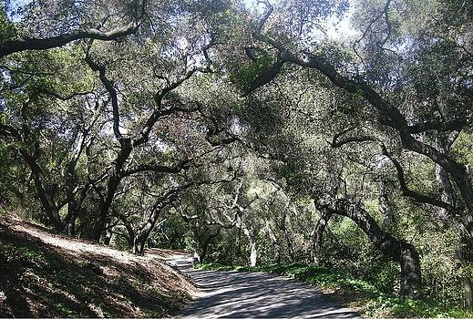 Coast Live Oaks by Marian Jenkins