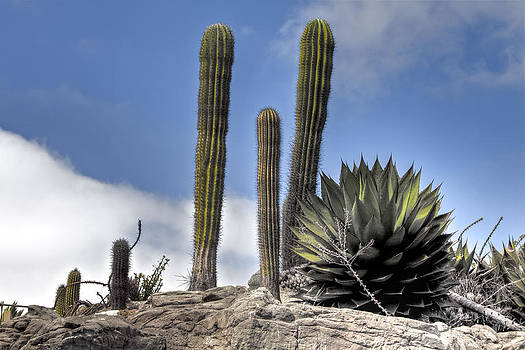 Coastal Cacti by Jeff  Jacobson