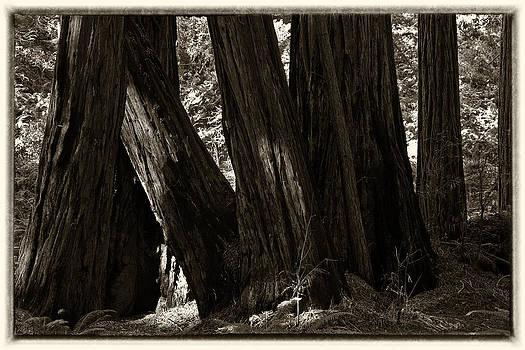 Coastal Redwoods by Eugene Dailey