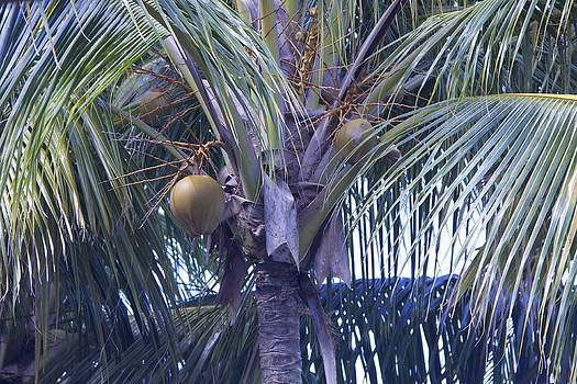 Coconuts by Dick Willis