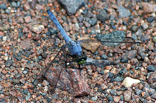 Color Coordinated Dragonfly by Kim Pate
