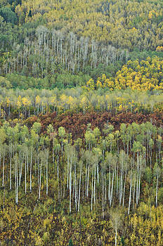 Colorado Aspen Layers by Adam Paashaus
