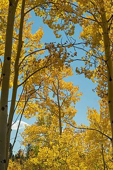 Colorado Aspens by Linda Storm