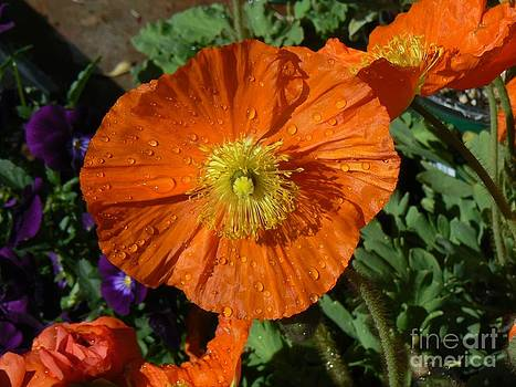 Colorado Poppy by Rincon Road Photography By Ben Petersen