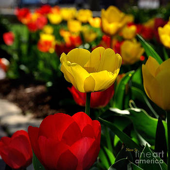 Colorful Spring Tulips by Nava Thompson