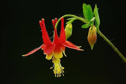Columbine Flower by Joy Bradley