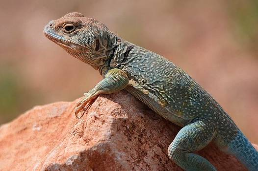 Common Collared Lizard by Elizabeth Budd