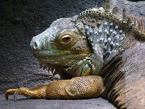 Margaret Saheed - Common Iguana Relaxing