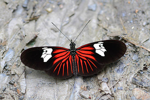 James Brunker - Common Longwing butterfly