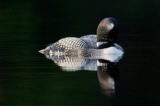 Common Loon in the dark by Daniel Forget