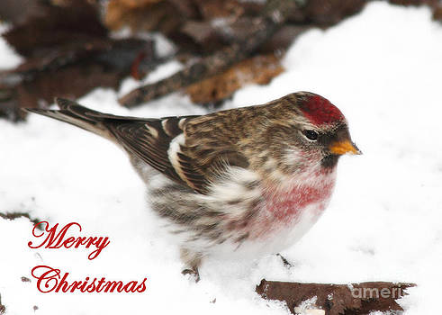 Common Redpoll Greeting Card by Deanna Wright