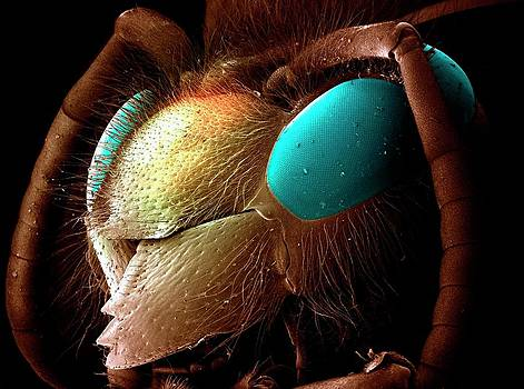 Common Wasp Head by Louise Hughes