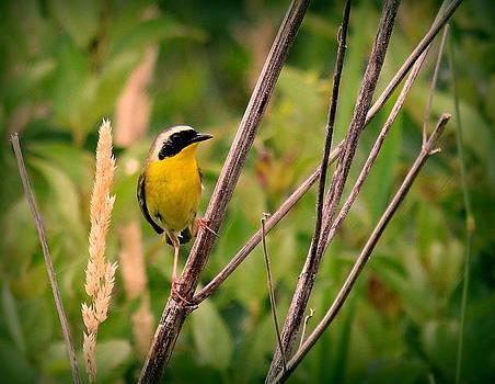 Rosanne Jordan - Common Yellowthroat