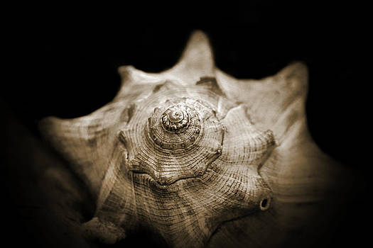 Conch Shell by Jessica Brawley