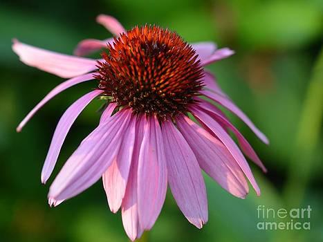 Corinne Rhode - Cone Flower