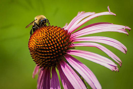 Coneflower and Bumble Bee by Patrick Collins