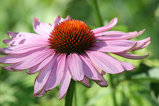 Coneflower in Bloom by Sharon McLain