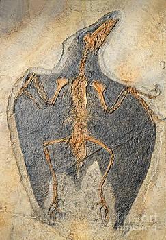Millard H Sharp - Confuciusornis Fossil