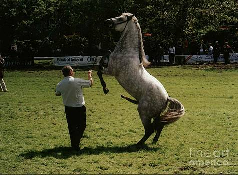 Joe Cashin - Connemara stallion