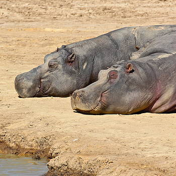 Contented Hippos by Ed Pettitt