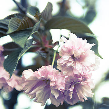 Cool Contrast Cherry Blossom by Courtney DeGregorio