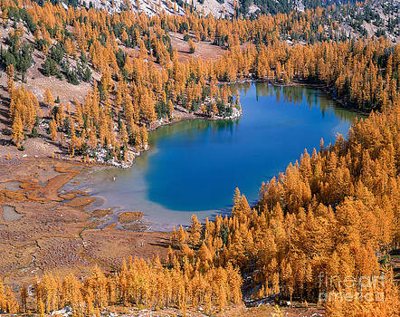 Cooney Lake Larches by Tracy Knauer