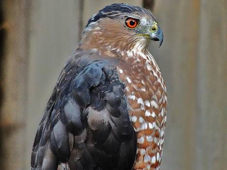 Coopers Hawk 3 by Helen Carson