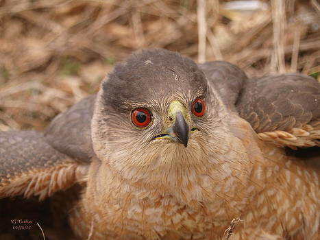 Coopers Hawk by Gordon Collins