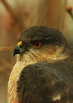 Coopers Hawk by Richard Stillwell