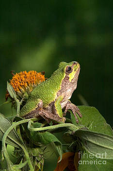 Kenneth M Highfill - Copes Gray Treefrog