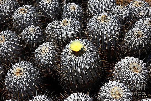 James Brunker - Copiapoa Cactus in Flower