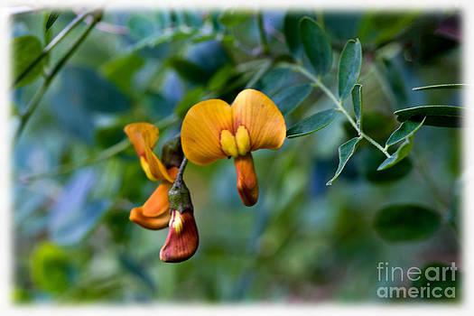 Liz  Alderdice - Copper Beauty Colutea