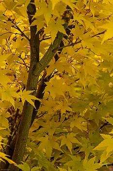 Mick Anderson - Coral Maple Fall Color