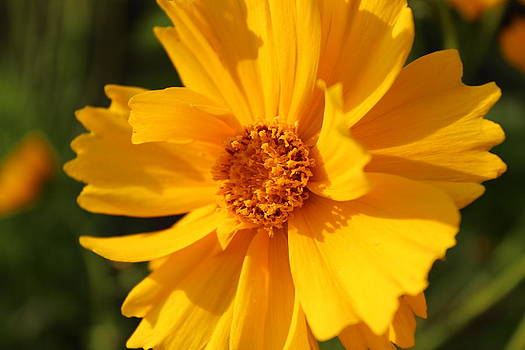 Coreopsis Aster by Mose Mathis