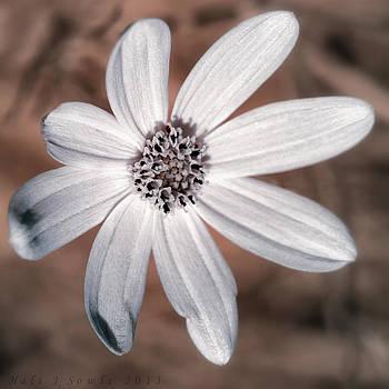 Coreopsis moonbeam in IR by Hali Sowle