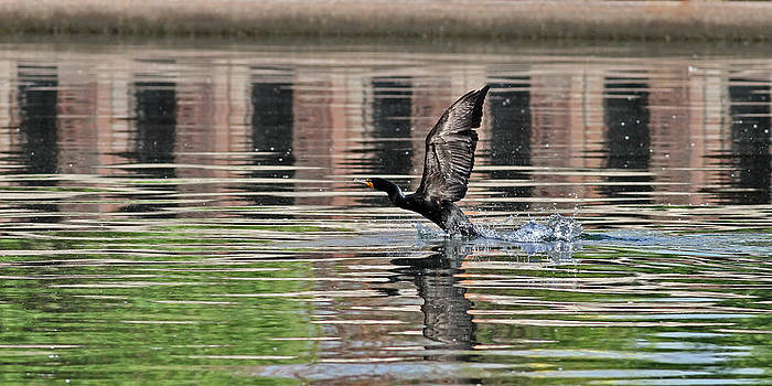 Cormorant by Jim Nelson