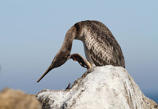 Cormorant on a rock by Alex Sukonkin