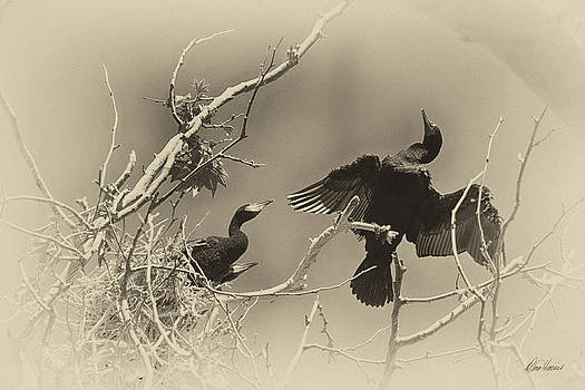 Diana Haronis - Cormorant With Her Young