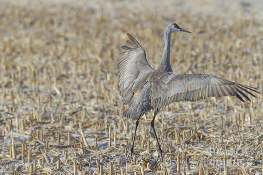 Sandhill Crane Corn Dance by Steve Triplett