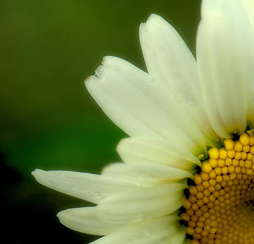 Cornered Daisy by Kimberly Long