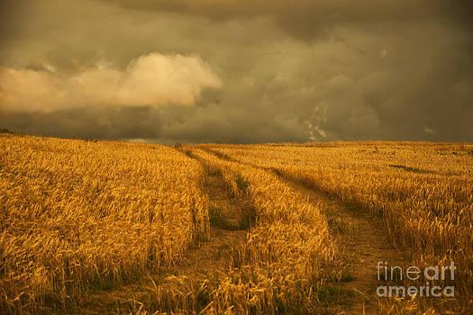Cornfield by Gry Thunes