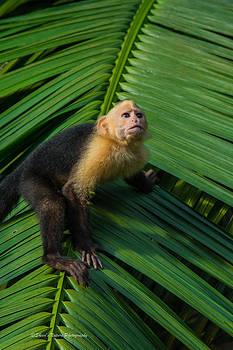 Costa Rican Capuchin by Sheen Watkins